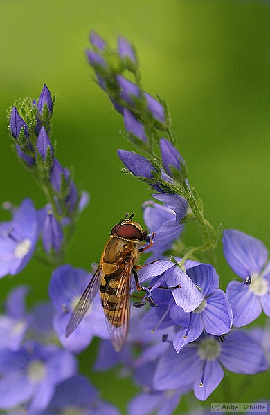 Hoverfly on Veronica