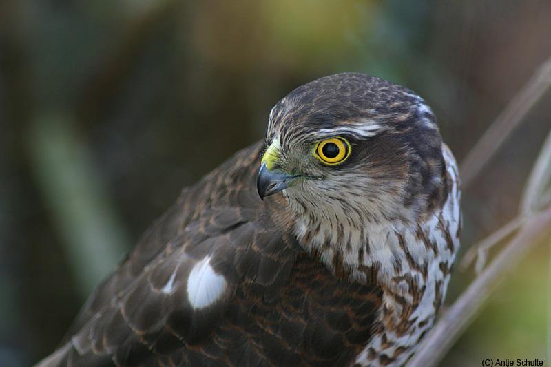 Sparrow Hawk Macro