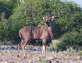 Greater Kudu, Etosha