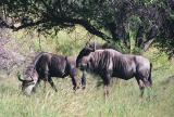 Wildebeest, Daan Viljoen Game Park, Windhoek