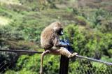 The baboons rule the picnic areas