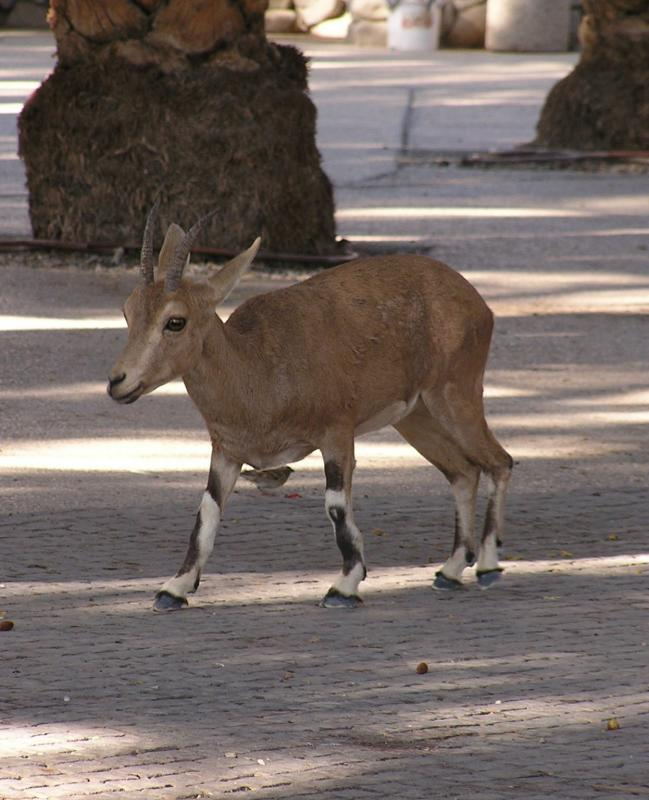 Small Ibex