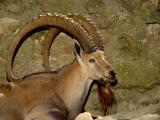 Fort Worth Zoo.Nubian Ibex.jpg