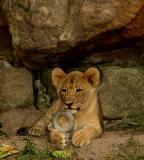 Fort Worth Zoo Lion cub.jpg