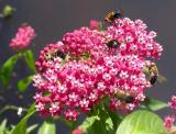 tachinid flies (possibly Archytas sp.) on Swamp Milkweed - view 1