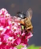 tachinid flies (possibly Archytas sp.) on Swamp Milkweed - 2