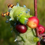 Hyalophora cecropia caterpillar on Rhamnus frangula
