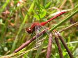 White-faced Meadowhawk -- Sympetrum obtrusum