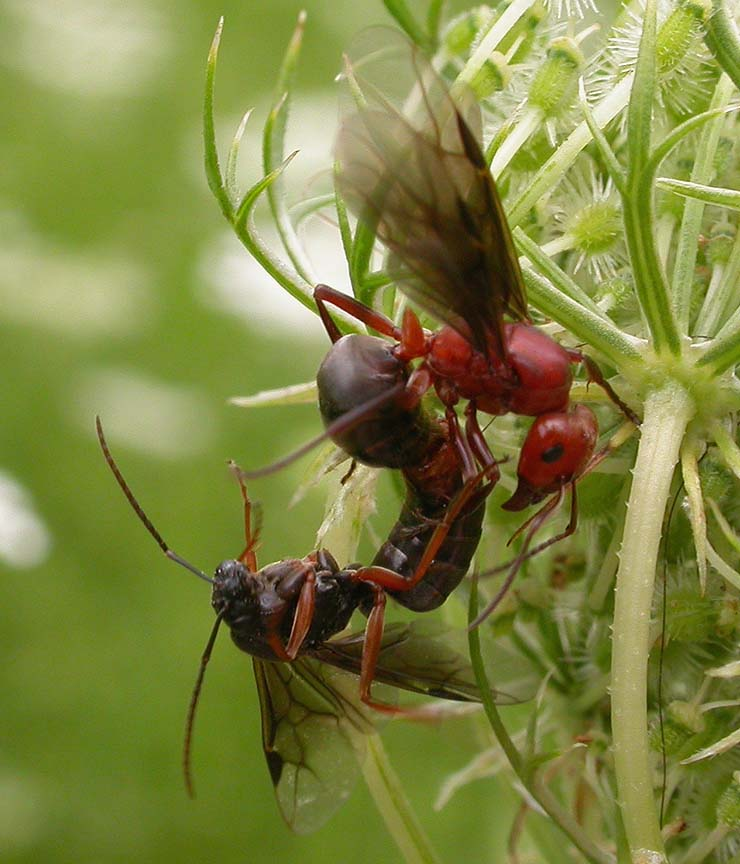 Mating pair of ants, male below, female above, probably <i>Formica sp.</i>