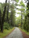 Under tall pine trees