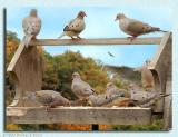 Dove Composite ~ Dec, 2003