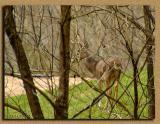 WV Whitetail Deer ~ 4th Qtr 2003