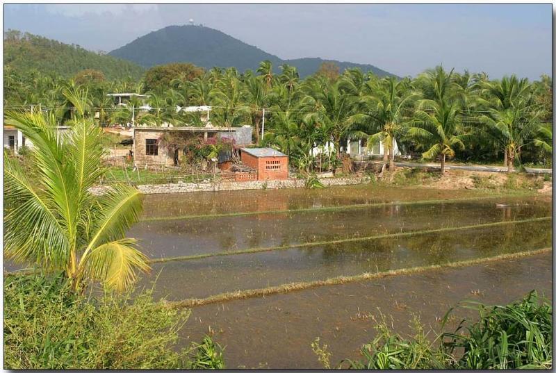 Rice field - Hainan Island