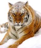 Tiger in Snow 08lo.jpg