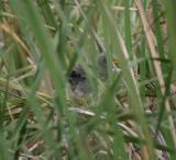 Baby Green Heron - see him in the weeds?
