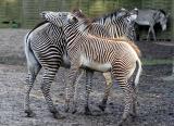 Equus GrevyiGrevy's zebraGrévy-Zebra