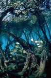 Mangrove nursery