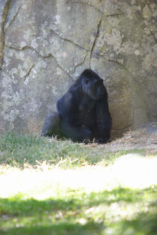 Gorillas-0004.jpg