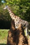 Giraffes-0002.jpg