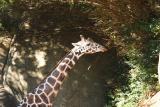 Giraffes-0003.jpg