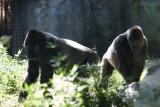 Gorillas-0008.jpg