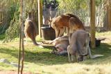 Kangaroos-0002.jpg