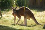 Kangaroos-0009.jpg