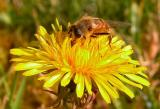 Bee on dandelion...