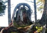 Root growing over old stump