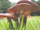 Mushroom cluster
