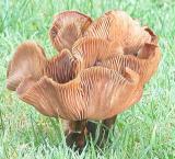 Upturned mushrooms