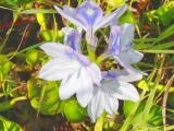Swamp Flowers, Eau Gallie Extension, Melbourne.