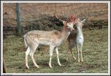 Buck and Doe - IMG_1756.jpg