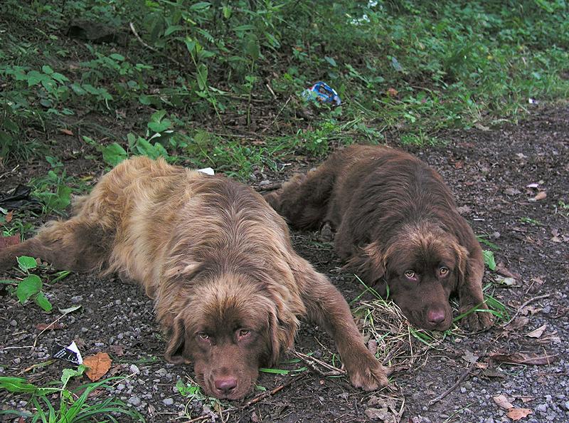 Two Abandoned Newfoundlands