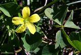 clover flower.jpg