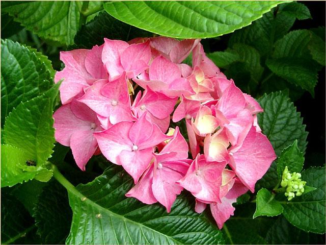 pinkhydr.jpg