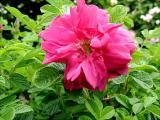Rugosa Roses Gallery