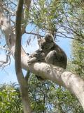 Koala Bears at Tower Hill