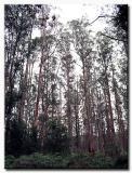 Mountain Ash - Dandenongs