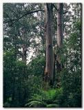 Mountain Ash - Dandenongs