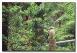 Kookaburra at Dandenongs