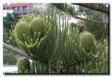 Norfolk Pine Cones