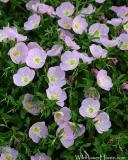 Showy Primrose aka Pink Evening Primrose