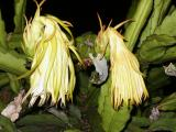 Dying night-blooming cereus (Hylocereus undatus)