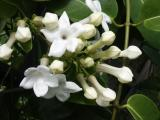 Stephanotis (Marsdenia floribunda)