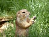 Prarie Dog at the Phoenix Zoo