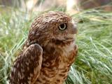 Owl at the Phoenix Zoo