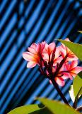 Frangipani with palm background