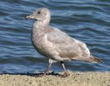 Glaucous-winged Gull, second winter (?)