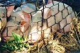pigs-in-a-basket.jpg